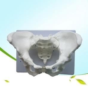 Vrouwelijke bekken model joint Metatarsal bot structuur Gynaecologie display onderwijs geneeskunde (wit)