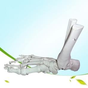 Enkel ligament model functioneel voet model onderwijs en training Bone mode (wit)