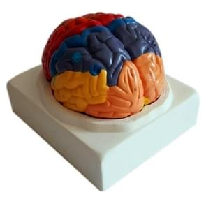 Brain Functional Cortex Regional Human Anatomy Brain Color Model for Medical School Teaching Tools