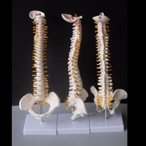 Human Spine with Pelvic Model Human Anatomical Anatomy Spine Medical Model Spinal Column Model, Size: 45cm